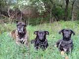 Собаки, щенки Кане Корсо, цена 900 Грн., Фото