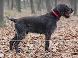 Собаки, щенки Немецкая жесткошерстная легавая, цена 10500 Грн., Фото