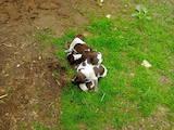 Собаки, щенята Німецька жорсткошерста лягава, ціна 10500 Грн., Фото