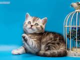 Кошки, котята Шотландская короткошерстная, цена 3000 Грн., Фото