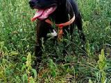 Собаки, щенята Американський стаффордширський тер'єр, ціна 3000 Грн., Фото