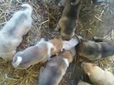 Собаки, щенята Західно-Сибірська лайка, ціна 2600 Грн., Фото