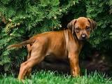 Собаки, щенята Родезійського ріджбек, ціна 7800 Грн., Фото