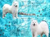 Собаки, щенята Самоїдом, ціна 21000 Грн., Фото
