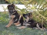 Собаки, щенята Німецька вівчарка, ціна 6500 Грн., Фото
