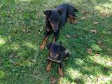 Собаки, щенки Ягдтерьер, цена 800500 Грн., Фото