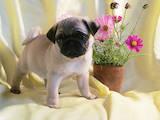 Собаки, щенята Мопс, ціна 9300 Грн., Фото