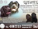 Собаки, щенята Лабрадор ретрівер, ціна 9200 Грн., Фото