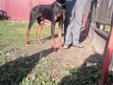 Собаки, щенки Доберман, цена 1000 Грн., Фото