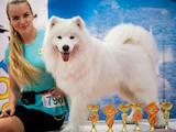 Собаки, щенята Самоїдом, ціна 13500 Грн., Фото