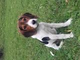 Собаки, щенки Эстонская гончая, цена 3200 Грн., Фото