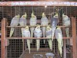 Попугаи и птицы Попугаи, цена 400 Грн., Фото
