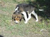 Собаки, щенки Эстонская гончая, цена 1700 Грн., Фото