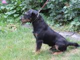 Собаки, щенята Ягдтер'єр, ціна 3500 Грн., Фото