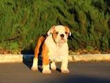 Собаки, щенята Англійський бульдог, ціна 15000 Грн., Фото