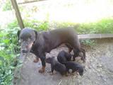 Собаки, щенки Ягдтерьер, цена 2000 Грн., Фото