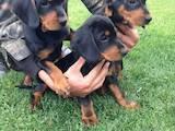 Собаки, щенята Естонський гончак, ціна 5500 Грн., Фото