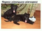 Собаки, щенята Чихуа-хуа, ціна 2700 Грн., Фото