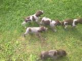 Собаки, щенки Немецкая жесткошерстная легавая, цена 1500 Грн., Фото