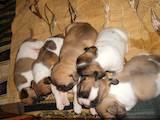 Собаки, щенята Французький бульдог, ціна 300 Грн., Фото