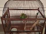 Попугаи и птицы Попугаи, цена 500 Грн., Фото