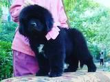 Собаки, щенки Ньюфаундленд, цена 22000 Грн., Фото