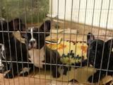 Собаки, щенки Французский бульдог, цена 5000 Грн., Фото