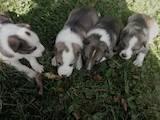 Собаки, щенята Західно-Сибірська лайка, ціна 5 Грн., Фото
