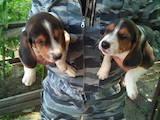 Собаки, щенята Естонський гончак, ціна 2600 Грн., Фото