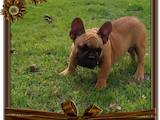 Собаки, щенята Французький бульдог, ціна 12000 Грн., Фото