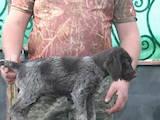 Собаки, щенки Немецкая жесткошерстная легавая, цена 5500 Грн., Фото
