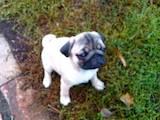 Собаки, щенята Мопс, ціна 6000 Грн., Фото