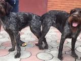 Собаки, щенки Немецкая жесткошерстная легавая, цена 100 Грн., Фото