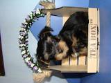 Собаки, щенки Йоркширский терьер, цена 8000 Грн., Фото