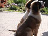 Собаки, щенята Московська сторожова, ціна 6000 Грн., Фото