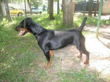 Собаки, щенята Ягдтер'єр, ціна 2700 Грн., Фото