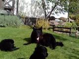 Собаки, щенята Німецька вівчарка, ціна 5300 Грн., Фото