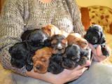 Собаки, щенки Английский коккер, цена 1150 Грн., Фото