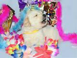 Собаки, щенята Золотистий ретрівер, ціна 12000 Грн., Фото