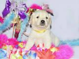 Собаки, щенки Золотистый ретривер, цена 12000 Грн., Фото
