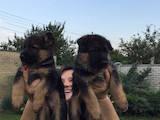 Собаки, щенки Немецкая овчарка, цена 300 Грн., Фото