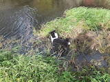 Собаки, щенята Російсько-Європейська лайка, ціна 6500 Грн., Фото