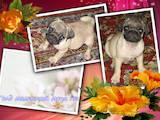 Собаки, щенята Мопс, ціна 6800 Грн., Фото