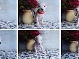 Собаки, щенята Аргентинський дог, ціна 6000 Грн., Фото