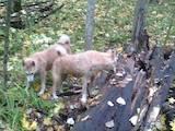 Собаки, щенята Західно-Сибірська лайка, ціна 2000 Грн., Фото