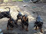 Собаки, щенята Гладкошерста такса, ціна 2100 Грн., Фото