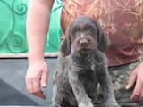 Собаки, щенята Німецька жорсткошерста лягава, ціна 4500 Грн., Фото