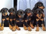 Собаки, щенки Доберман, цена 6500 Грн., Фото