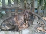 Собаки, щенята Французький бульдог, ціна 4000 Грн., Фото