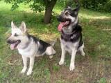 Собаки, щенята Східно-Європейська вівчарка, ціна 2700 Грн., Фото